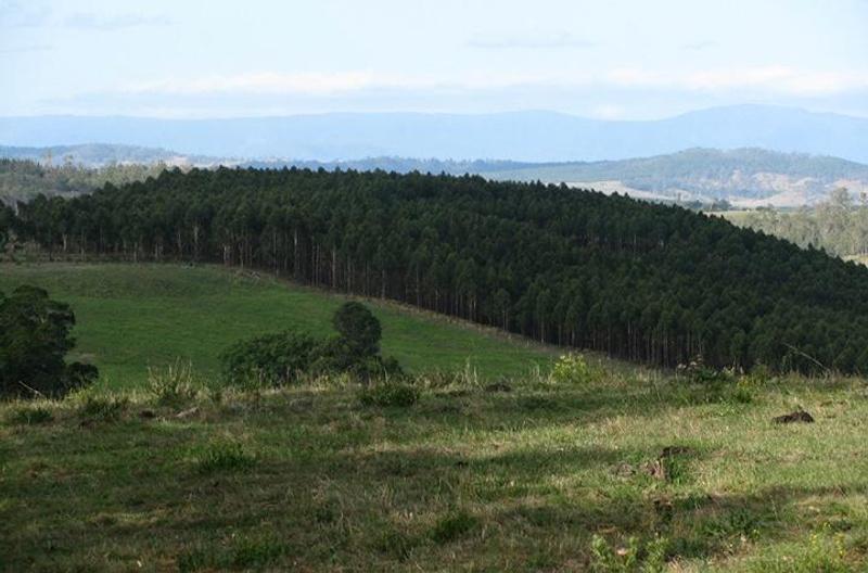 A tree plantation alongside a clear paddock