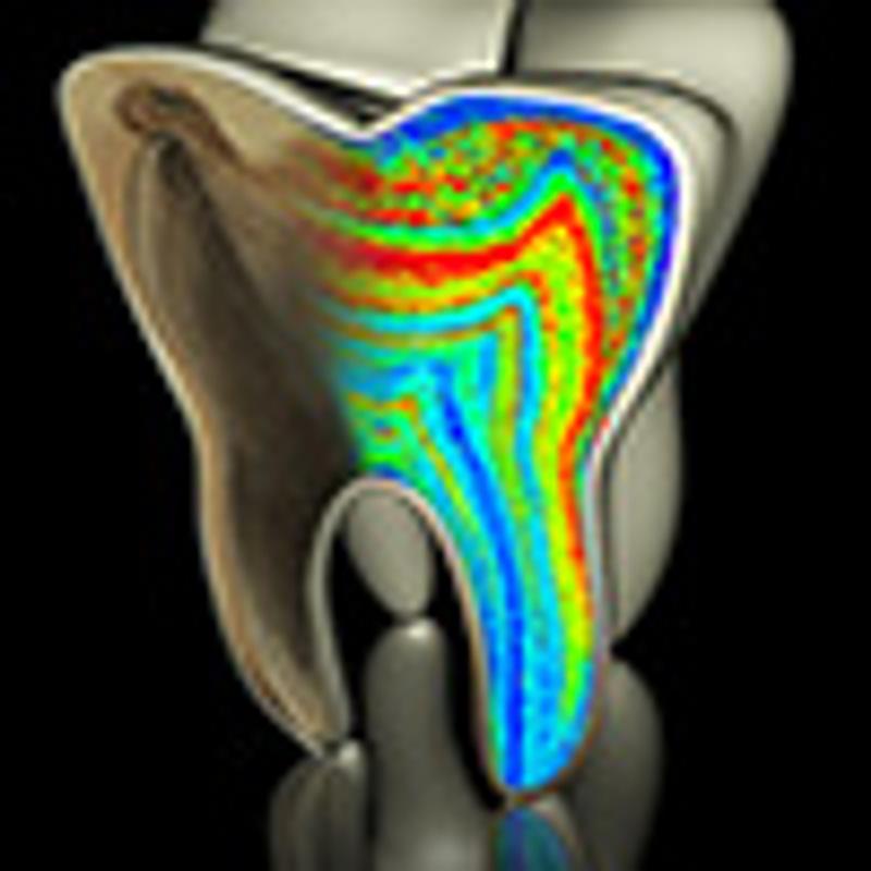 Barium distribution in fossil teeth