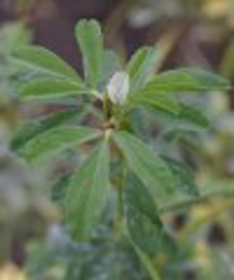 Trigonella foenum-graecum